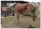 cavalli-movimento