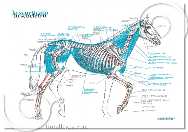 cavalli-scheletro.muscoli